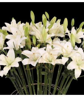 Lilies Blanche