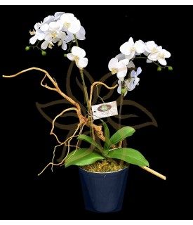 Doble Orquídea Phalaenopsis ( Allegría )