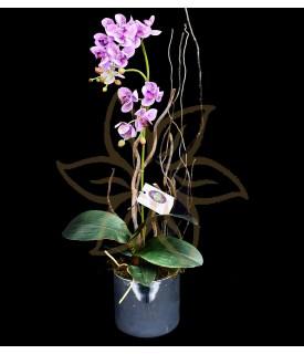 Orquídea Phalaenopsis Dorita