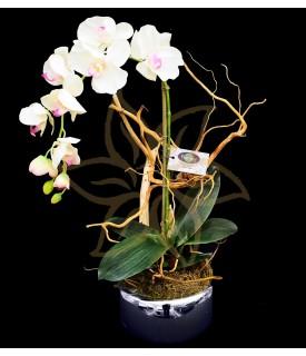 Phalaenopsis Yukimai