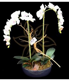 Yukimai Double Phalaenopsis Orchid