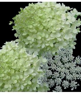 Hortensias verdes y Encaje...