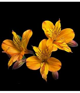 Alstroemerias (Alstroemeria...