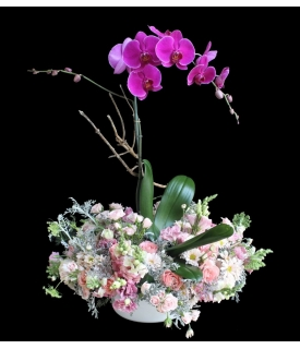 Phalaenopsis en Jardín de...