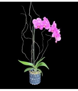 Phalaenopsis Clásica