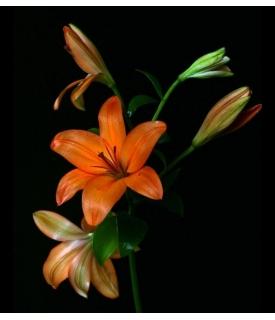 Lilis Asiáticas (Lilium...