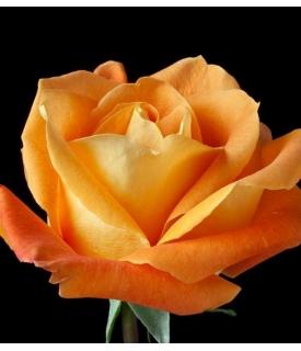 Rosas (Rosa cultivars)