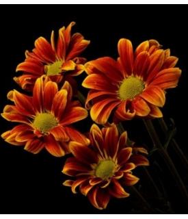 Margaritas (Chrysanthemum...